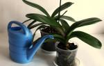 Как правильно и как часто нужно поливать орхидею