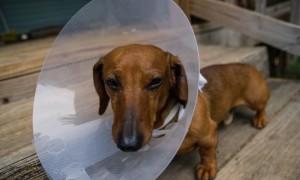 Как сделать защитный воротник для собаки своими руками