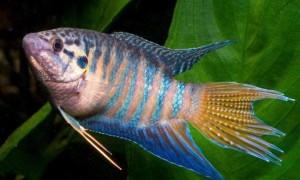 Райская рыбка макропод: правила содержания, тонкости ухода и совместимость с другими обитателями аквариума