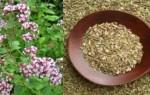 Волшебная трава против злых духов: лечебные свойства и противопоказания душицы