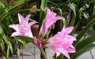 Комнатная лилия: правильный уход и выращивание в домашних условиях
