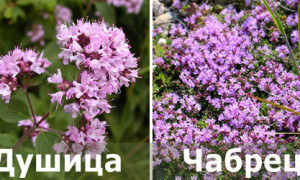 Чабрец и душица: это одно и то же или разные растения, полезные свойства и противопоказания
