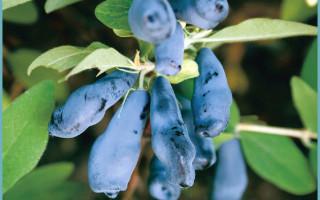Какой сорт жимолости лучше для выращивания в Подмосковье