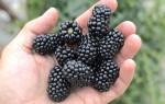 Описание сорта ежевики Лох-Несс: все о сладкой ягоде