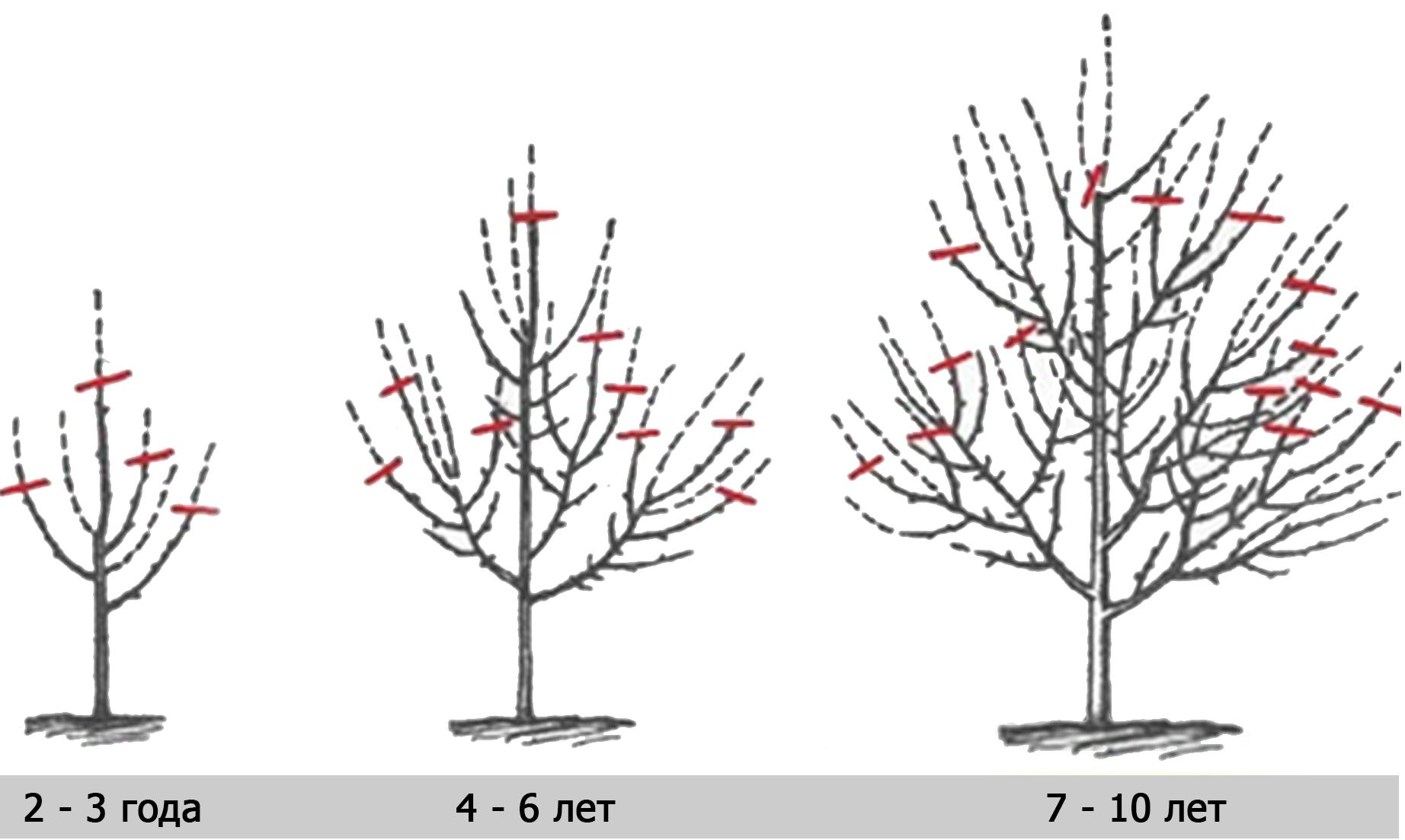 Как обрезать яблоню весной схема фото