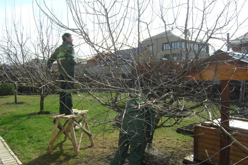 мужчина обрезает яблоню