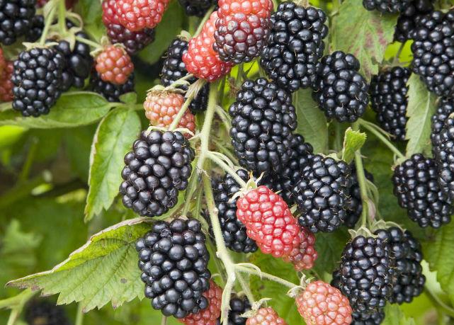 ягоды ежевики Лох-Несс