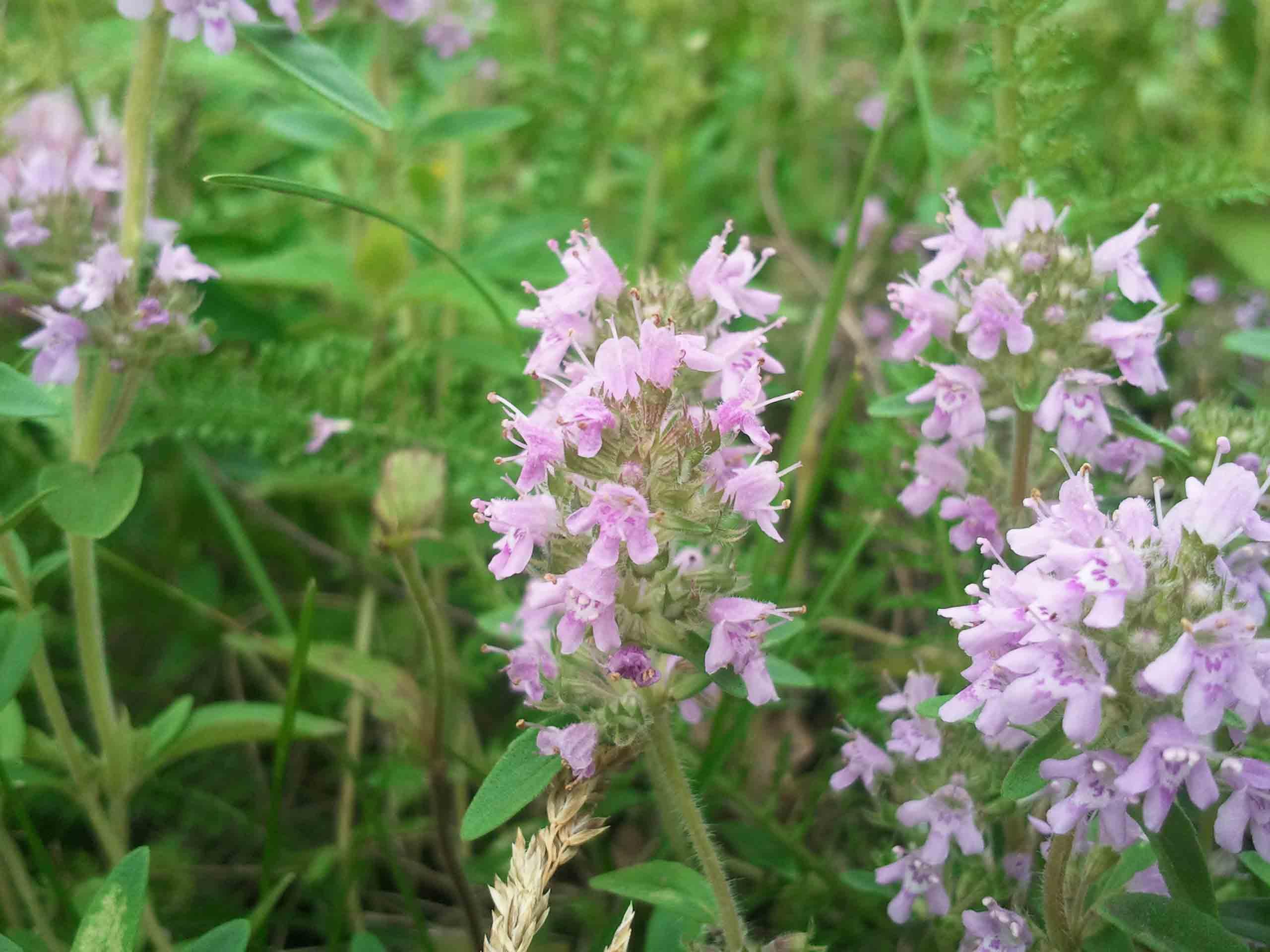 лекарственная трава чабрец