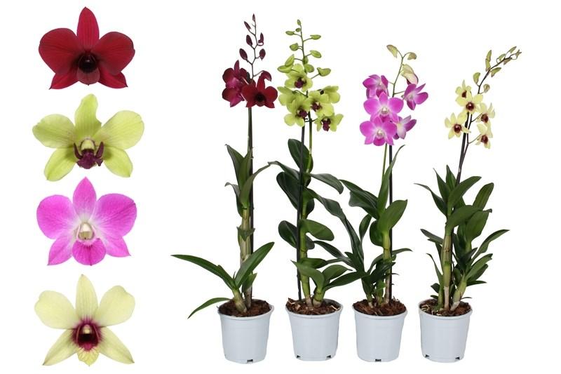 сорт орхидеи Дендробиум