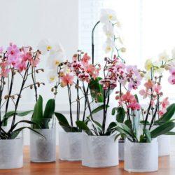 Как пересаживать деток орхидею в домашних условиях фото