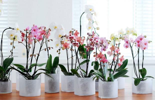 Как пересаживать цветущую орхидею в домашних условиях 965