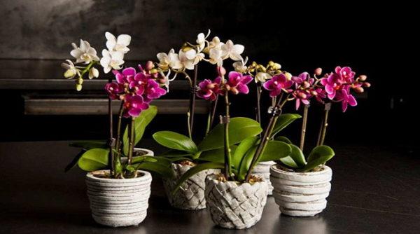 орхидеи в декоративных горшках