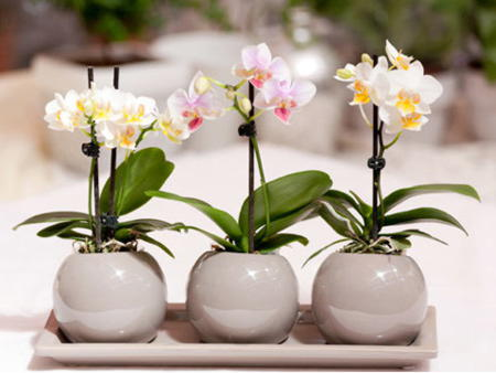 На сколько погружать в воду орхидею