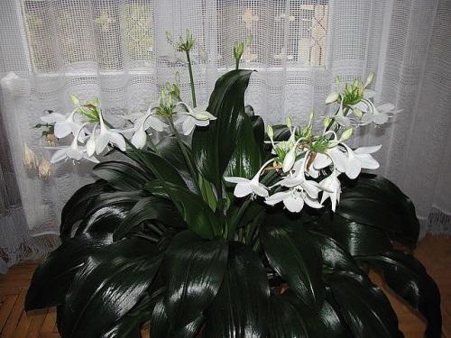 Амазонская лилия: как ухаживать за тропической красавицей в домашних условиях
