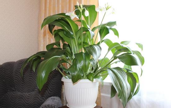 Амазонская лилия цветок уход в домашних условиях