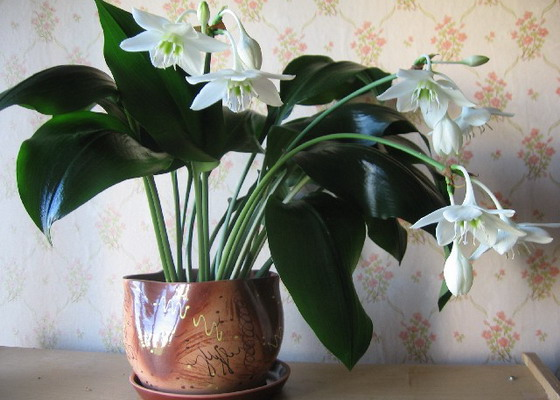 комнатный цветок эухарис