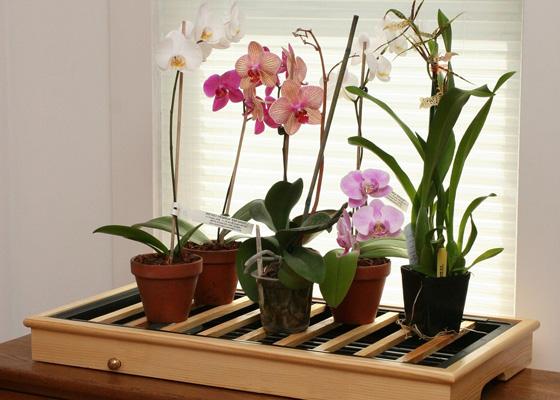 цветущие орхидеи