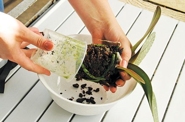 Как пересадить орхидею фаленопсис в домашних условиях пошаговое фото