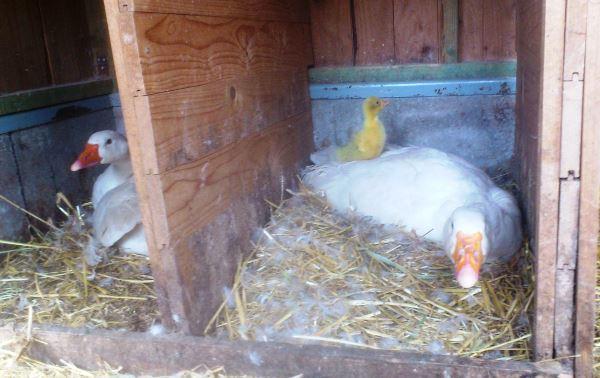 Гусыни-наседки с гусятами